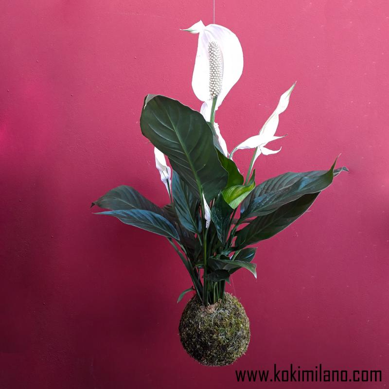 Kokedama-Spatifilium,-Kokedama-Fiori-,-Kokedama-per-la-sposa,-Fiori-appesi