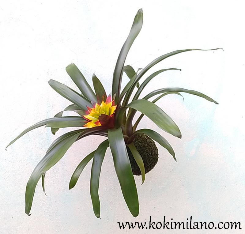 Kokedama-Guzmania,-Pianta-tropicale-appesa,-Bromeliacee-,-mossball-,-fiori-appesi