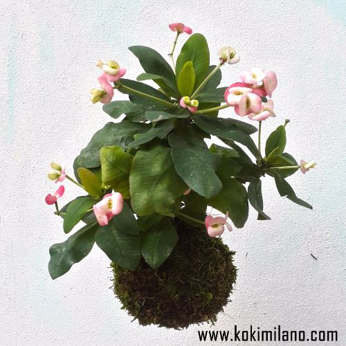 Kokedama-di-Succulente,-Euphorbia-Milii