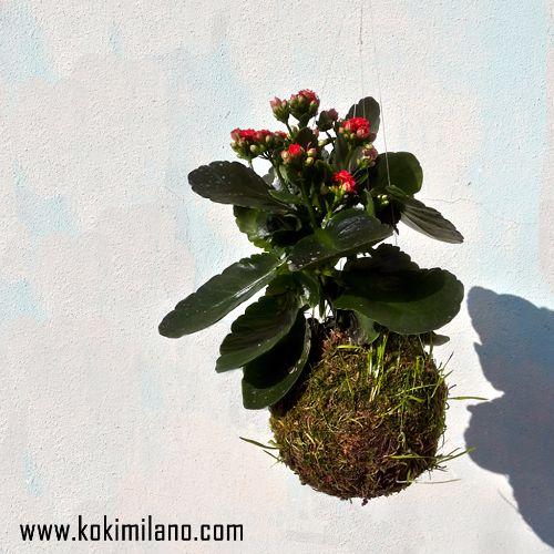 Kokedama-Kalanchoe,-Calancola-blossfeldiana