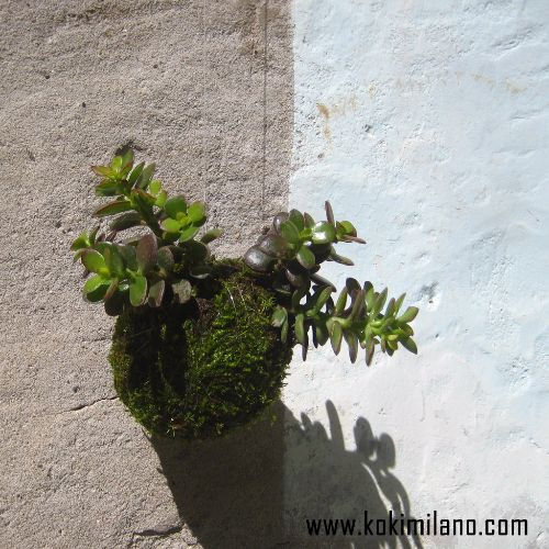 Kokedama-Mini-Boschetto-Multi-Crassula,-Pianta-di-Giada