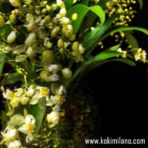 Orcidium-Twinkle---Kokedama-Orchidea